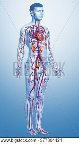 3d Rendered, Medically Accurate Illustration Of The Kidneys And Circulatory System