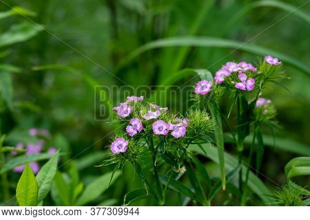 Beautiful Fresh Flowers Of Turkish Carnation In A Morning Garden With Dew Drops. Pink Flowers. Flora