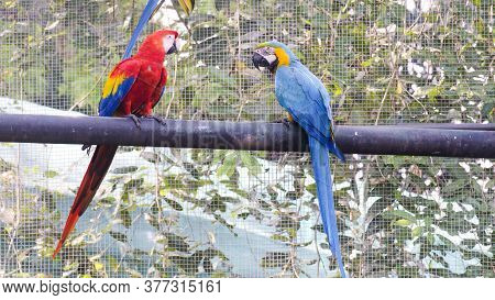 Colombo : December 10, 2017: At The Zoological Gardens, Sri Lanka. Two Colorful Macaw Parrots, Two,