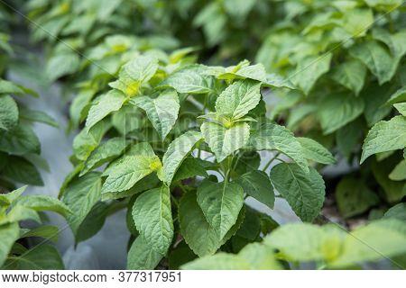 Tree Basil Or  Shrubby Basil (ocimum Gratissimum) Spicy Ingredient For Cooking Food. Tree Basil Leav