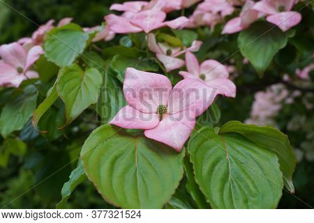 Showy And Bright Pink Dogwood Tree Biscuit-shaped Flowers Close Up.