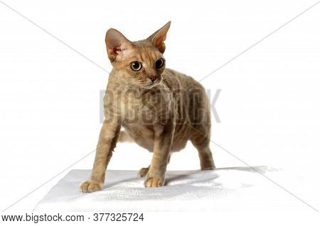 Devon Rex  Cat On White Background  Close Up