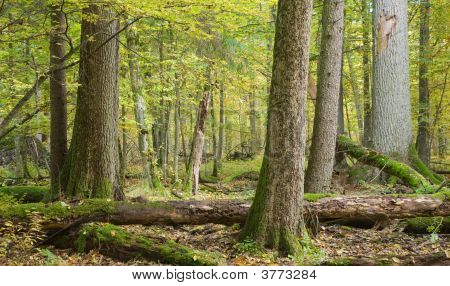 Autumnal Landscape Of Natural With Lying Dead Tree And Old Trees