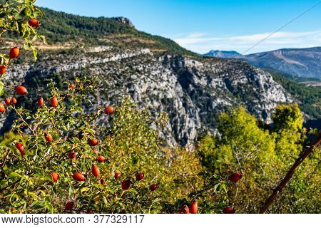Dog Rose In Verdon Gorge, Gorges Du Verdon, Amazing Landscape Of The Famous Canyon With Winding Turq