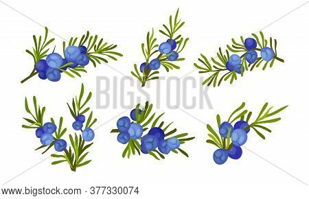 Juniper Branches With Needle Like Leaves And Blue Aromatic Seed Cones Vector Set