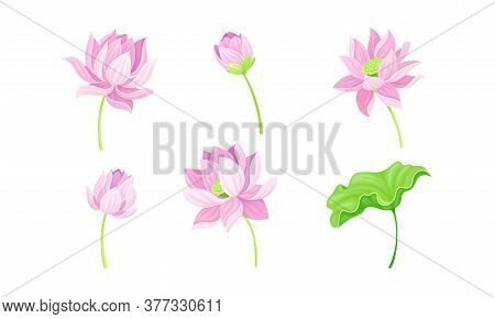 Open Tender Lotus Flower Bud On Leaf Stalk Vector Set