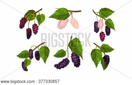 Mulberry Branch With Immature Pink Berries And Ripe Black Ones Vector Set