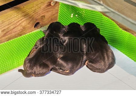 Four Newborn Jack Russell Terrier Puppies In A Whelping Box With A Warming Lamp
