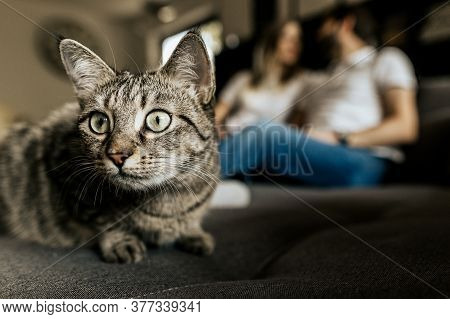 Close Up Gray Black Cat Muzzle In Camera. Spotted Cat On Blurred Background With Romantic Couple