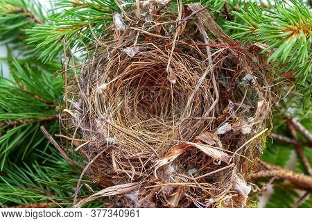 Close-up Empty Swallows Nest. Bird Home. Top View On Pine Tree. Consists Of Dry Hay, Blade Of Grass