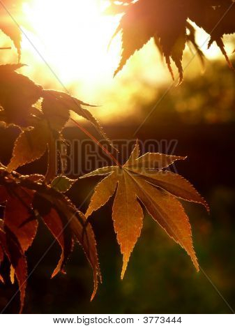 Autumn Sunset Maple Leaves