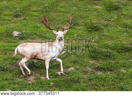 New Zealand. Green grassy hills of the park for breeding deer. Magnificent spotted deer with huge beautiful horns poses for the photographer. The concept of exotic and active tourism