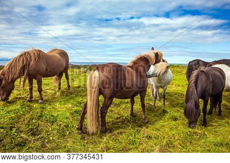 Well-groomed Icelandic horses on a free pasture. Thoroughbred and beautiful horses with light manes and tails. Green fresh tall grass in summer tundra. Iceland. Journey of dreams.