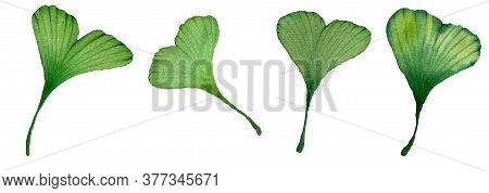Ginkgo Biloba Leaf Set Isolated On White, Watercolor Hand Painted Illustration With Green Ginkgo Lea