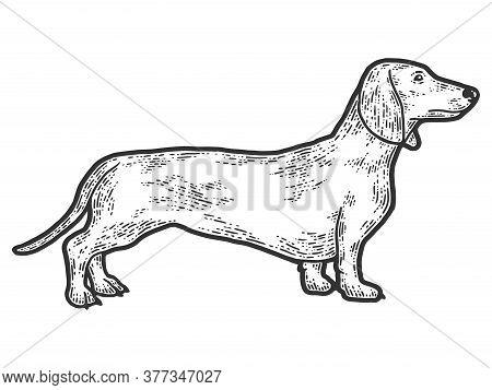 Pet Dog Dachshund Breed. Sketch Scratch Board Imitation. Black And White.
