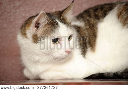 White And Brown Cute Cat