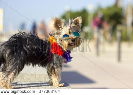 A Mini Yorkshire Terrier With Sunglasses And Hawaiian Wreath Standing On A Stone Bench On The Beach