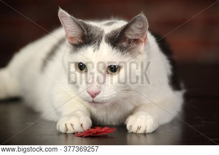 White Cat With Black Spot Close Up