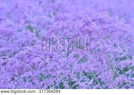 Blooming Fluffy Brushes Of Beige Ears In A Light Lilac Haze In A Uniform Soft Light. Natural Backgro