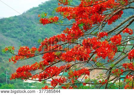 Red Flame Tree In The Park Moving By Wind In Autumn