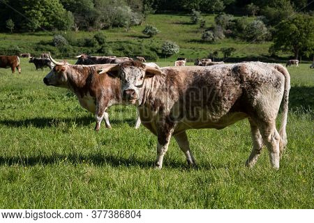 English Longhorn Cattle Looking Into Camera Outside Dunster, Somerset Uk