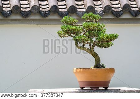 Bonsai Tree In A Pot Against White Wall In Chengdu, Sichuan Province, China