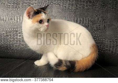 British Cat With A Rare Three-color Stain
