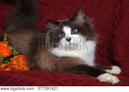 Beautiful Cat With Siamese Color, Snow Shu, Neva Masquerade, On A Red Background