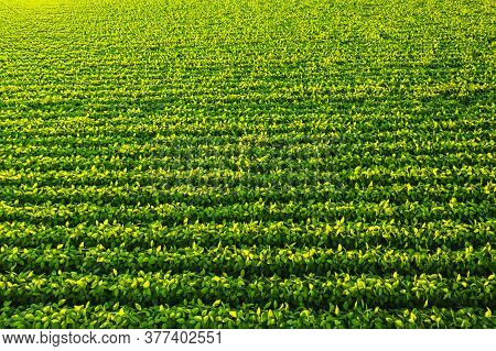 Soybean Field With Rows Of Soya Bean Plants. Aerial View. Agriculture In Austria
