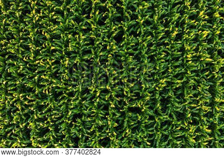 Low Altitude Aerial Photo Of Rows Of Maize Plant. Agriculture Background