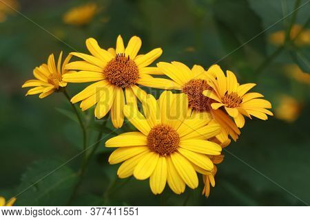 Yellow Flowers Of Blooming Heliopsis Sunflower Helianthus Pauciflorus On A Flowerbed In The Garden.