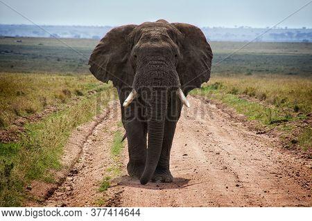 Adult African Elephants In Savannah, Serengeti, Tanzania