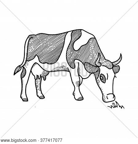 Sketch Of Spotted Cow Eating Grass Sketch. Dairy Cattle Vector Illustration. Hand Drawing Isolated O