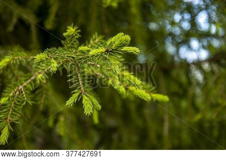 Green Branch Of Larch With Tiny Leaves On The Blue And Brown Background. Brown Cone Of Larch. Wild P