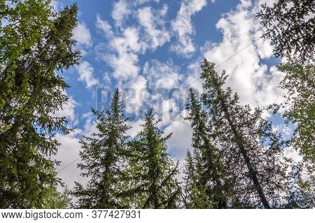 Green Forest With Pines, Spruces, Larches And Birches On The Background With Blue Sky. Bright Summer