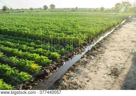 Watering Plantation Landscape Of Green Carrot And Potato Bushes. Growing Food On The Farm. Growing C