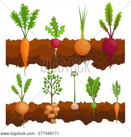 Collection If Vegetables Growing In The Ground. Plants Showing Root Structure Below Ground Level. Or