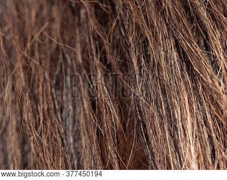Close Up To Horse Tail, Back View To Horse Back. Long Strong Ioly Fibers Of Horsehair Or Horse Tail.