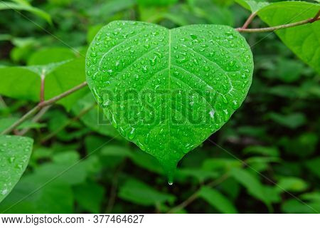 Green Big Leaf In The Shape Of Heart After The Rain With Water Drops, Fresh Leaf In Forest After The
