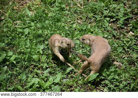 Pair Of Prairie Dogs Playing Ring Around The Rosay In Grass.