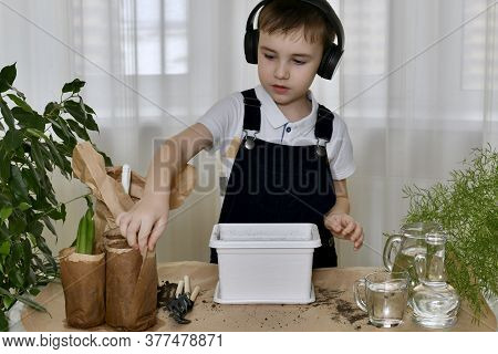 The Boy Is Engaged In The Planting Of Hyacinths. Accepted For Bulbous Seedlings Of Flowers, Packed I