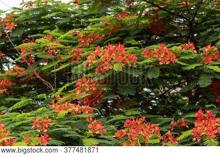 Delonix Regia Tree In Bloom. Called Flamboiã In Portuguese, It Is A Tree Of The Legume Family (fabac