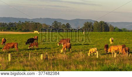 Dawn At Extensive Cattle Farm In Southern Brazil