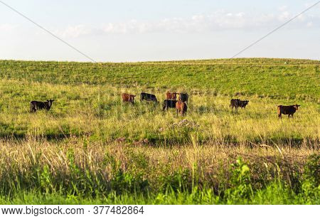 Rural Landscape In Southern Brazil. Area Of Farms Where Cattle Breeding Takes Place In Extensive Are