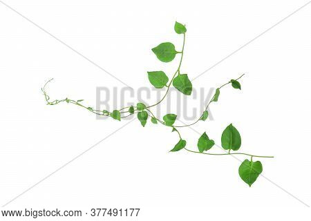 Heart Shaped Green Leaves Climbing Vines Ivy Of Cowslip Creeper (telosma Cordata) The Creeper Forest