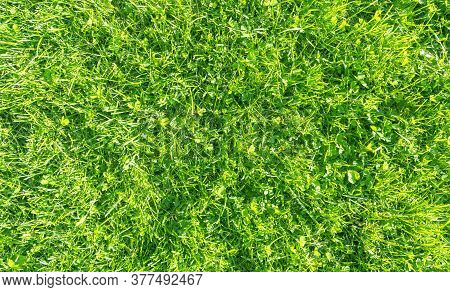 Fresh Lawn Grass. Grass Golf Courses Green Lawn Pattern Texture. Green Grass Texture Background. Top