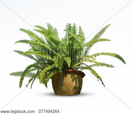 Green Leave Of Fern In Pot Snccnlent Isolated On White Background.