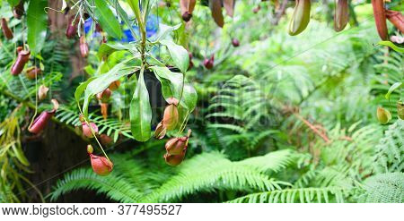 Nepenthes In Tropical Rainforest Garden. Nepenthes Is A Genus Of Carnivorous Plants, Also Known As T