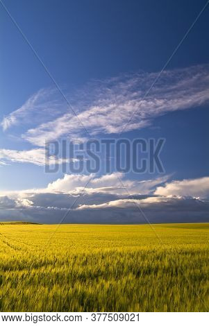 Bright And Colorful Wheat Fields Under Blue Sky, Puglia, Italy