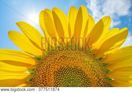 Close up sunflower with blue sky. Sun light through the leaves of flower. Natural background design..